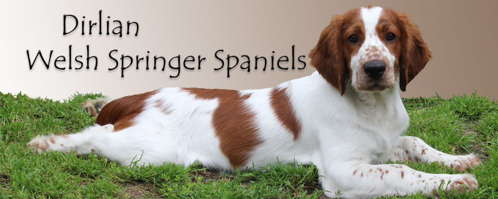 Dirlian Welsh Springer Spaniels